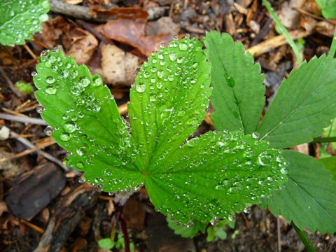 Strawberry Leaves, Raindrops - Photo by Susie Krause